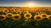 Cara Merawat Bunga Matahari